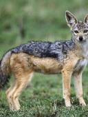Adult Black-Backed Jackal, Masai Mara, Kenya