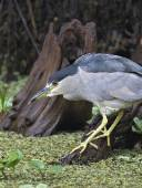 Black-Crowned Night Heron Fishing, Corkscrew Swamp
